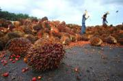 Two NGOs Actively Attacking Indonesian Palm Oil Industry