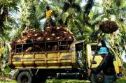 Allegedly, Business Competition Motive Blocked Investment of Palm Oil Industry in Papua