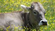 Austria: Farmer liable for hiker trampled to death by cow
