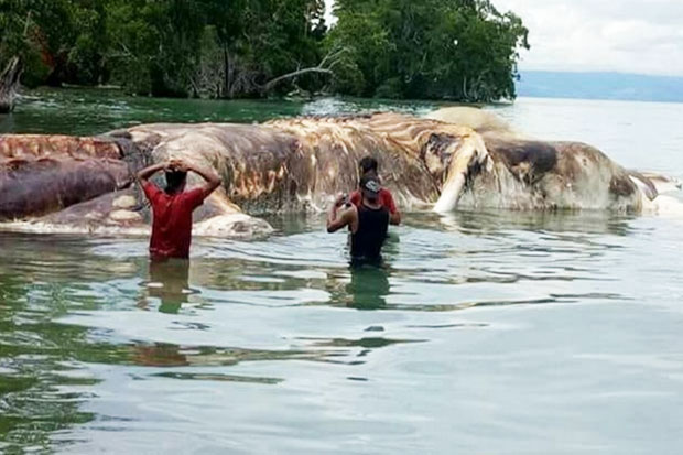 Massive Sea Monster Appear in Seram Island