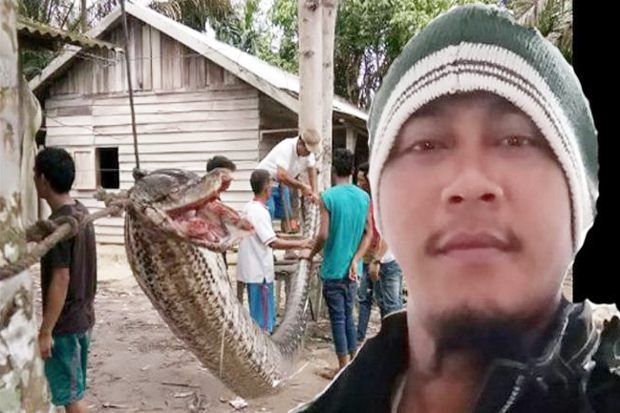 In Riau, Giant Python Almost Eaten Security Guard