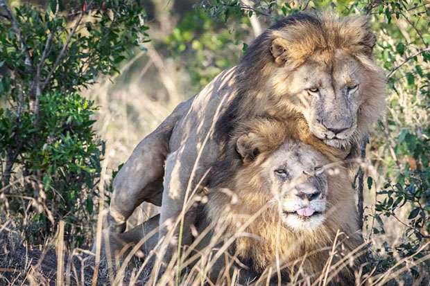 Gay Lions Seen in Kenya Need Counselling