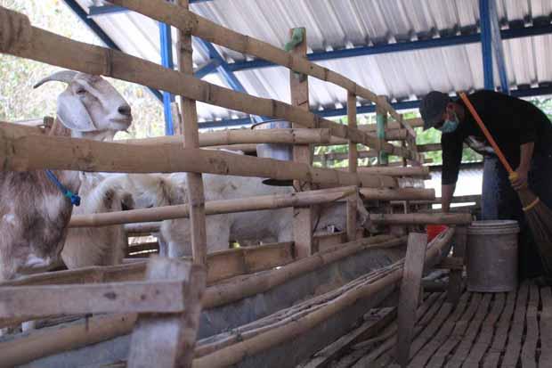 Didampingi Tim UNS,Ternak Kambing Perah Ini Berkembang Pesat