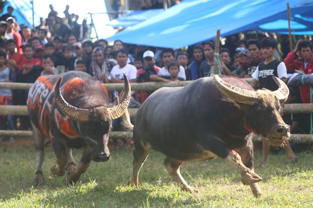 Cerita Foto : Adu Kerbau, Tradisi Rambu Solo di Tana Toraja